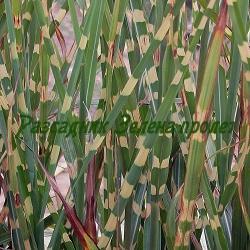Miscanthus sinensis - сорт Zebrinus (Мискантус, Китайски камъш, Царска тръстика), Poaceae
